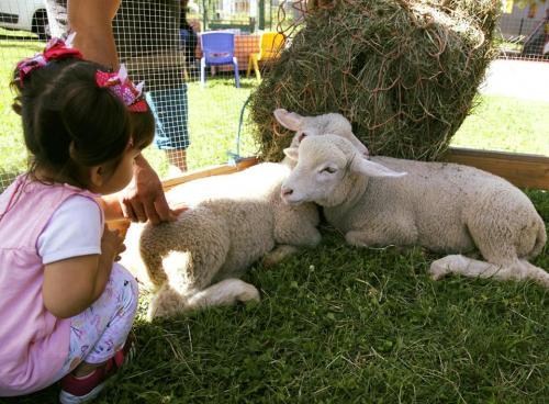 ptite ferme agneaux